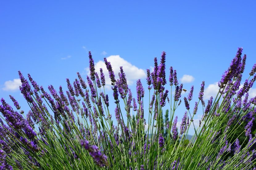 How To Use Lavender Oil For Sleep